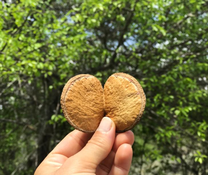 Uma representação de afeto vindo da natureza.Casca de semente de pé de Pereiro que lembra uma forma de coração.